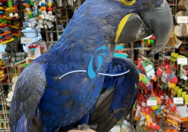 Healthy hand trained hyacinth macaws ready to go out for sale.