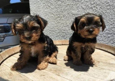 Yorkshire Terrier 'Yorkie' Puppies For Sale