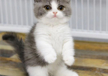 Standard Munchkin kitten with short legs for sale